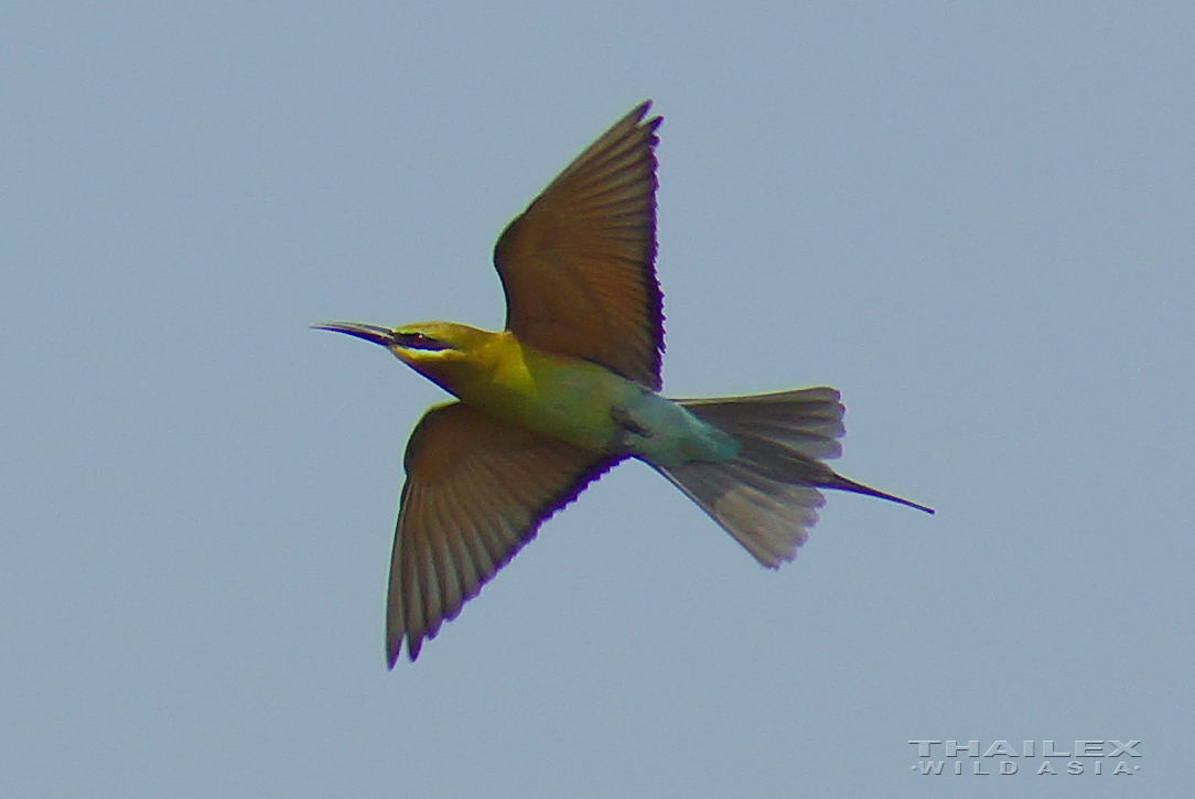 Blue-tailed Bee-eater (in flight)