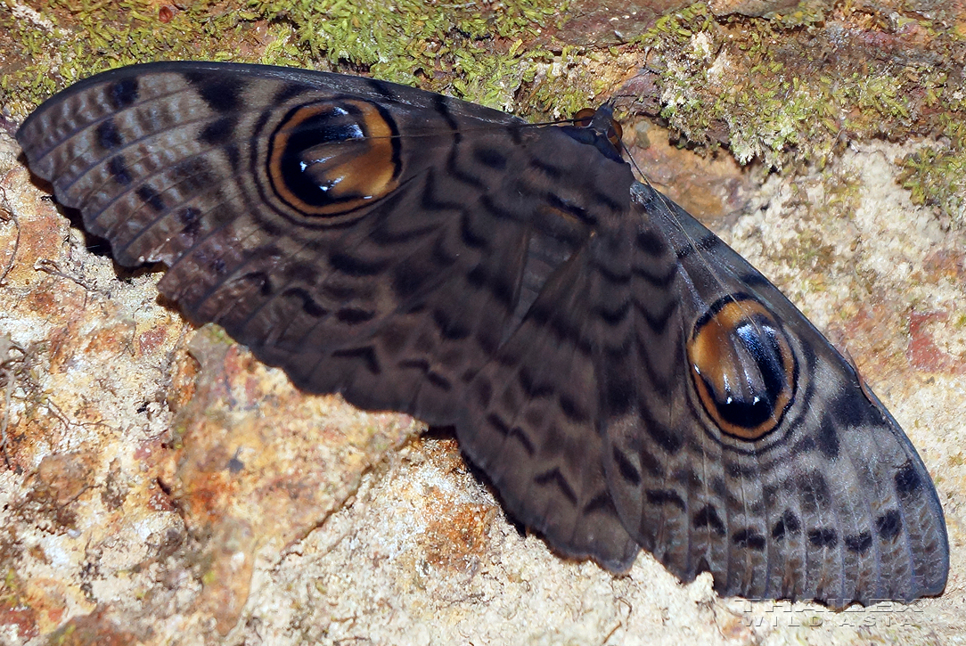 Great Owl Moth
